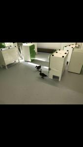 Resident Ducks at Millfield School - Turnkey Refurbishment